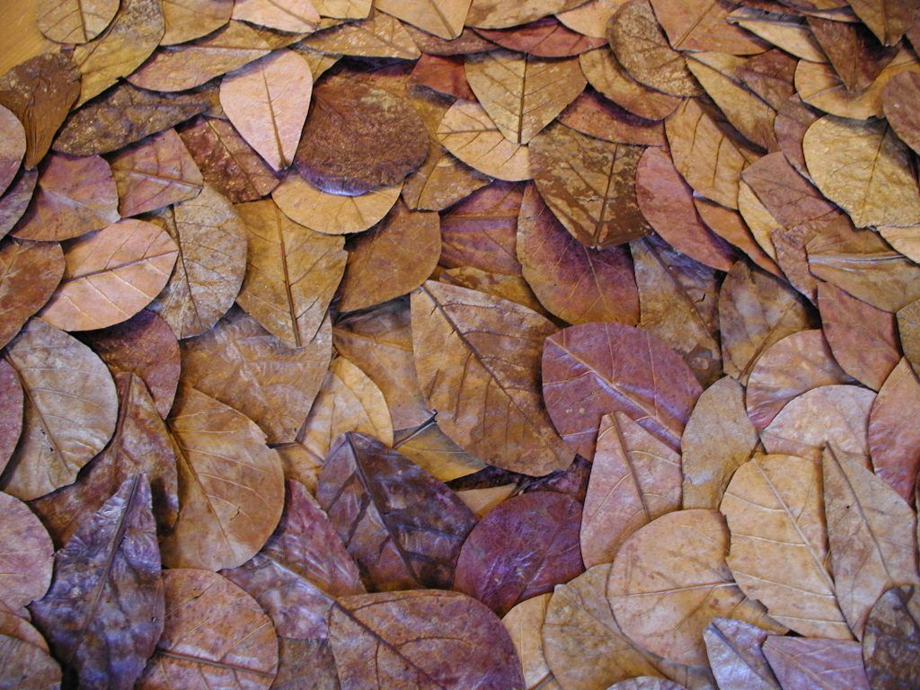 Terminalia-Catappa-Leaves